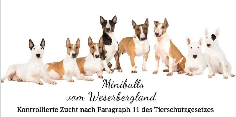 Minibulls vom Weserbergland